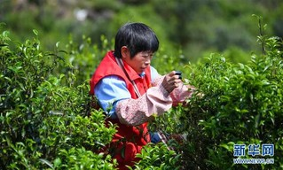 (社会)(1)广东潮州:凤凰春意暖 茶乡复工忙
