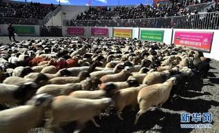"""(文化)(1)西藏""""数羊头""""传统活动"""
