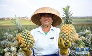 """(社会)(1)""""菠萝的海""""迎丰收"""