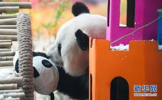 """(社会)(2)大熊猫思嘉的""""生日派对"""""""