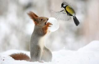 欲哭无泪!黄油坚果藏山雀被雪球抢走真鳕鱼松鼠图片