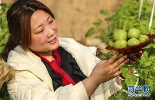 (经济)(1)河北永清:特色绿番茄迎春上市