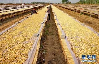(经济)(2)河北昌黎:可持续扇贝养殖助环保渔业双赢