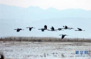 #(环境)(3)贵州草海:越冬候鸟陆续北迁