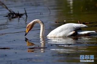 """(生态)(5)山西黄河湿地""""迎来""""首批越冬野生大天鹅"""