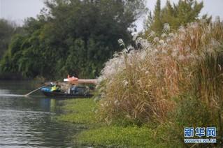 (美丽中国)(3)西溪湿地秋浓芦花白