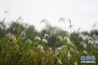(美丽中国)(1)西溪湿地秋浓芦花白