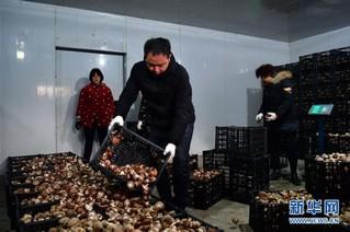 (走基层 听民声)(3)河南鲁山:香菇种植助农致富