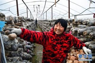 (走基层 听民声)(1)河南鲁山:香菇种植助农致富