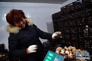 (走基层 听民声)(2)河南鲁山:香菇种植助农致富