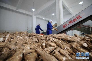 #(经济)(5)湖南张家界:菜葛冬收加工忙