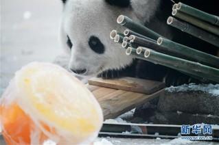 """(社会)(8)大熊猫思嘉的""""生日派对"""""""