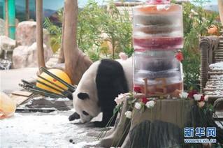 """(社会)(10)大熊猫思嘉的""""生日派对"""""""