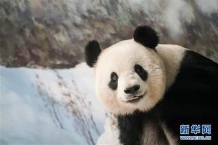 """(社会)(4)大熊猫思嘉的""""生日派对"""""""