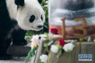 """(社会)(7)大熊猫思嘉的""""生日派对"""""""