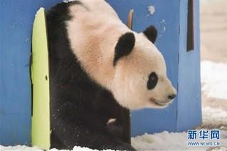 """(社会)(3)大熊猫思嘉的""""生日派对"""""""