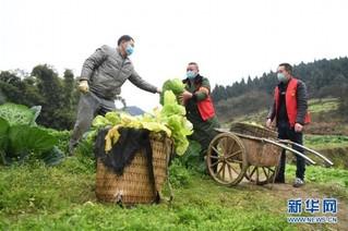 (聚焦疫情防控)(1)重庆:疫情下的乡村蔬菜配送小队