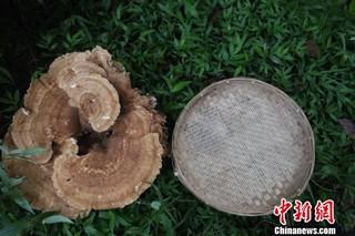 云南普洱现巨型蘑菇 大小堪比簸箕周长近1.8米