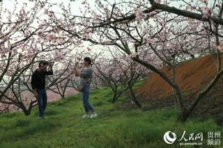 贵州玉屏 黄桃花开 高清组图