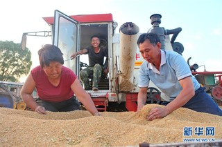 """(经济)(7)河北:""""三夏""""忙收麦"""
