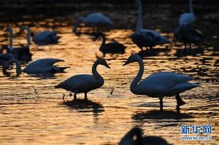 """(生态)(6)山西黄河湿地""""迎来""""首批越冬野生大天鹅"""