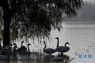 """(生态)(3)山西黄河湿地""""迎来""""首批越冬野生大天鹅"""