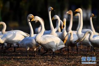 """(生态)(4)山西黄河湿地""""迎来""""首批越冬野生大天鹅"""