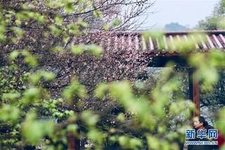 (春季美丽生态)(3)福州:古寺梅香