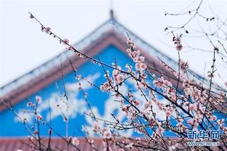 (春季美丽生态)(2)福州:古寺梅香