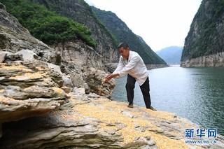 """(在习近平新时代中国特色社会主义思想指引下——新时代新作为新篇章)(3)重庆巫山:""""生态宝贝""""变身""""摇钱树"""""""