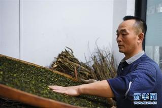 (社会)(5)广东潮州:凤凰春意暖 茶乡复工忙