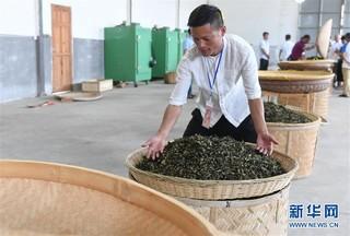 (社会)(2)福建福鼎:制茶能手比拼技艺