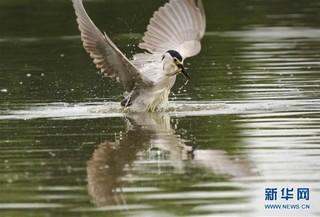 (环境)(3)河北唐山:鹭鸟南湖舞翩跹