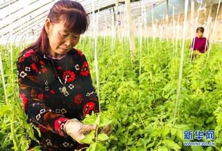 (经济)(2)河北永清:特色绿番茄迎春上市
