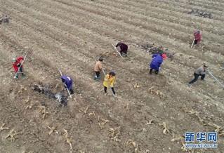 #(经济)(2)湖南张家界:菜葛冬收加工忙