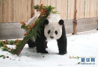 """(社会)(11)大熊猫思嘉的""""生日派对"""""""