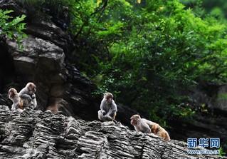 """(在习近平新时代中国特色社会主义思想指引下——新时代新作为新篇章)(5)重庆巫山:""""生态宝贝""""变身""""摇钱树"""""""