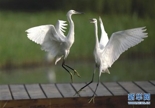 (环境)(2)河北唐山:鹭鸟南湖舞翩跹