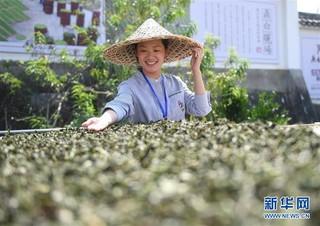 (社会)(1)福建福鼎:制茶能手比拼技艺