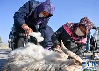 (社会)(3)鄂尔多斯:剪羊毛 梳羊绒