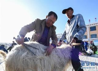 (社会)(1)鄂尔多斯:剪羊毛 梳羊绒