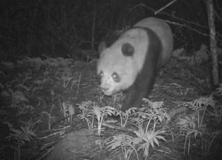 发现一只小可爱!亚成体大熊猫独自现身都江堰管护总站--地方--人民网