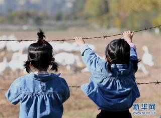 """(生态)(2)山西黄河湿地""""迎来""""首批越冬野生大天鹅"""