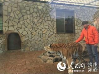 """贵州森林野生动物园回应""""虐虎""""视频:为饲养员与幼虎嬉戏场景【3】"""