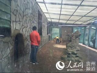 """贵州森林野生动物园回应""""虐虎""""视频:为饲养员与幼虎嬉戏场景【2】"""