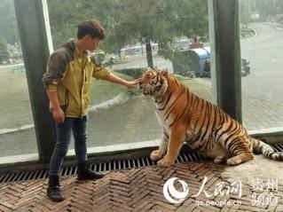 """贵州森林野生动物园回应""""虐虎""""视频:为饲养员与幼虎嬉戏场景【5】"""