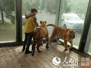 """贵州森林野生动物园回应""""虐虎""""视频:为饲养员与幼虎嬉戏场景【6】"""