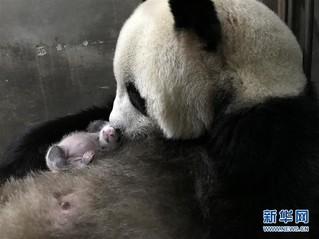 (环境)(2)陕西迎来今年第三只大熊猫幼仔