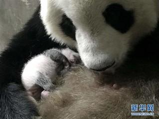 (环境)(1)陕西迎来今年第三只大熊猫幼仔