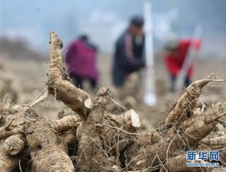 #(经济)(3)湖南张家界:菜葛冬收加工忙
